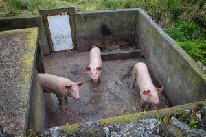 Drei Schweinedamen in einem leider sehr verdreckten Gehege